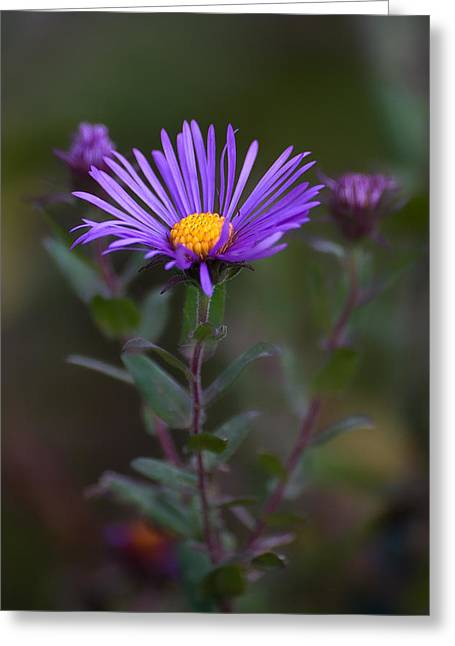 Asters Greeting Cards - New England Aster Greeting Card by Dale Kincaid