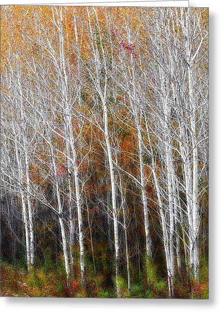 Birch Tree Greeting Cards - New England Autumn Birches Greeting Card by Bill  Wakeley