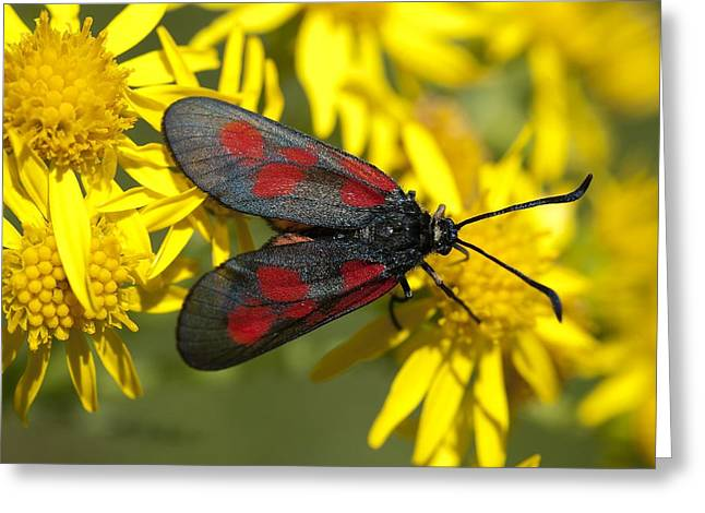 Eating Entomology Greeting Cards - New Forest burnet moth Greeting Card by Science Photo Library
