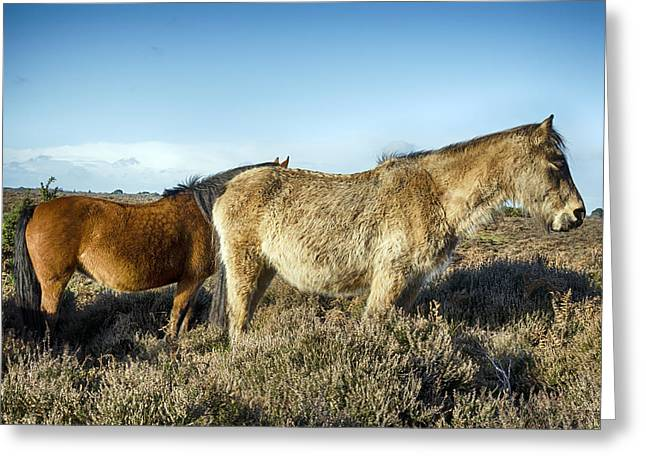 New Forest Pony Greeting Cards - New Forest Ponies Greeting Card by Helen Hotson