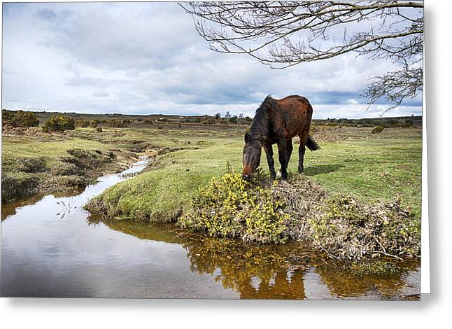 New Forest Pony Greeting Cards - New Forest Pony Greeting Card by Helen Hotson