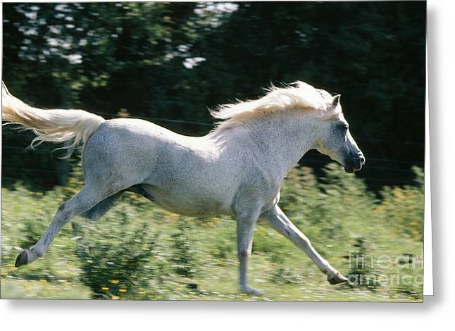 New Forest Pony Greeting Cards - New Forest Pony Greeting Card by Jean-Paul Ferrero