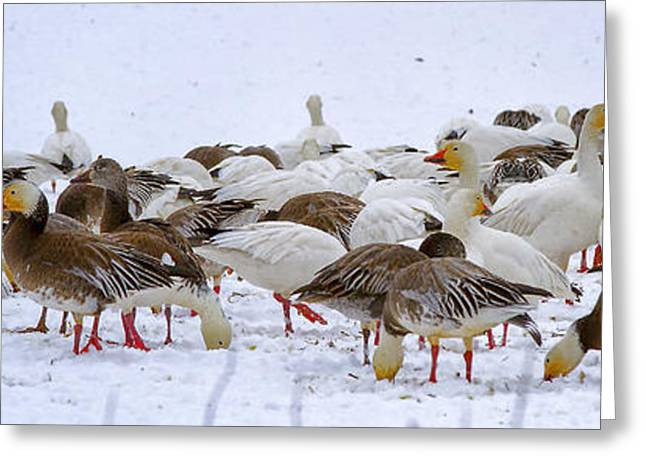 New Melle Greeting Cards - New Melle Snow Geese Greeting Card by Linda Tiepelman
