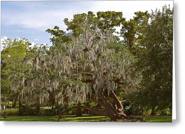 Moss Man Greeting Cards - New Orleans Spanish Moss Greeting Card by Christine Till