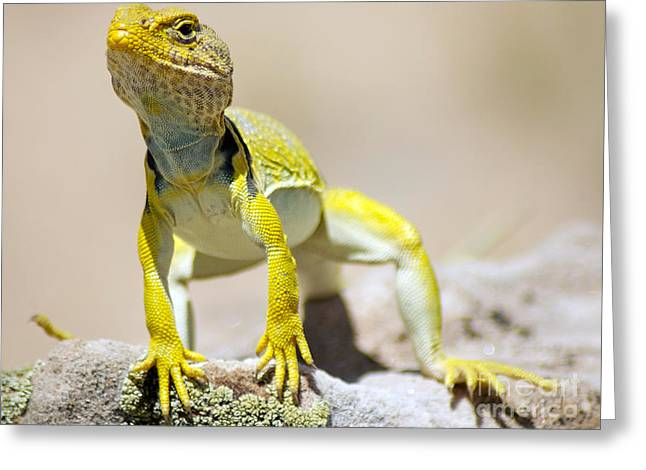 Gecko Print Greeting Cards - NEW Photographic Art Print For Sale Yellow Lizard Ghost Ranch New Mexico Greeting Card by Toula Mavridou-Messer