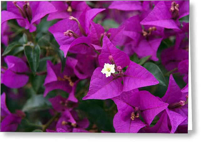 Bougainvilleas Greeting Cards - New River Bougainvillea Greeting Card by Rona Black