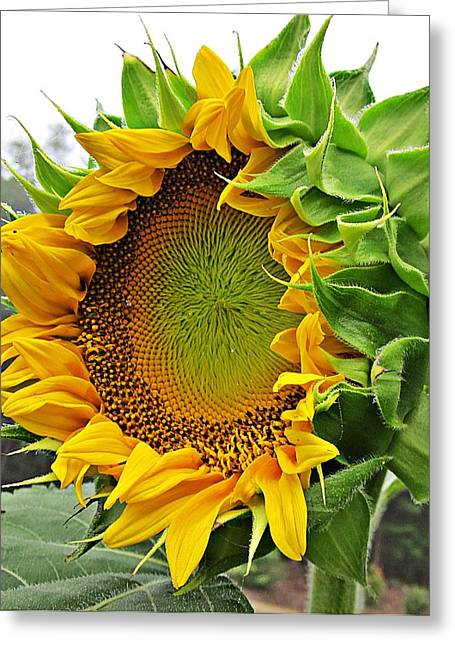 Blooms Greeting Cards - New Sunflower Greeting Card by MTBobbins Photography