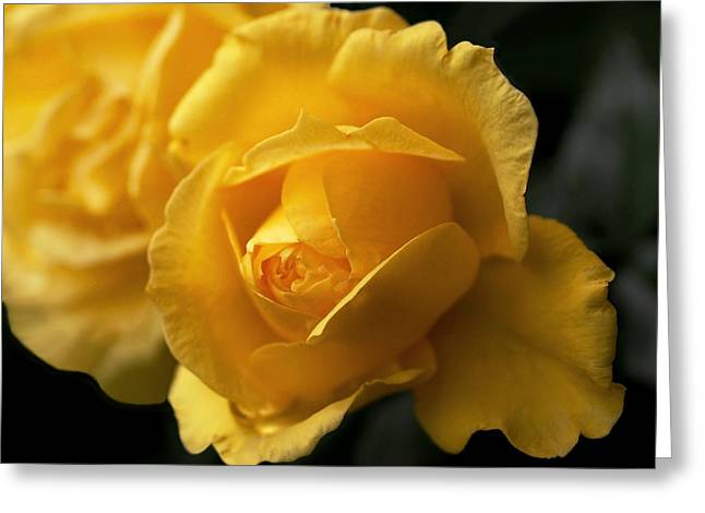 Rose Flower Greeting Cards - New Yellow Rose Greeting Card by Rona Black
