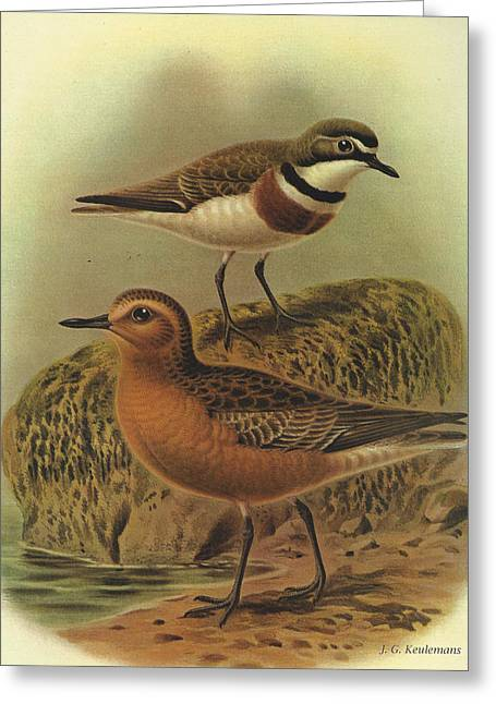 J.g. Greeting Cards - New Zealand Dotterel and Banded Dotterel Greeting Card by J G Keulemans