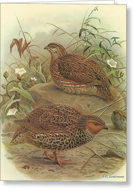 Quail Greeting Cards - New Zealand Quail Greeting Card by J G Keulemans