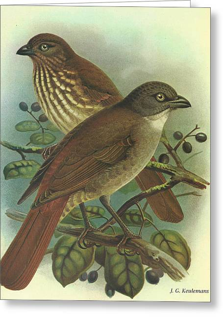 Thrush Greeting Cards - New Zealand Thrush Greeting Card by J G Keulemans
