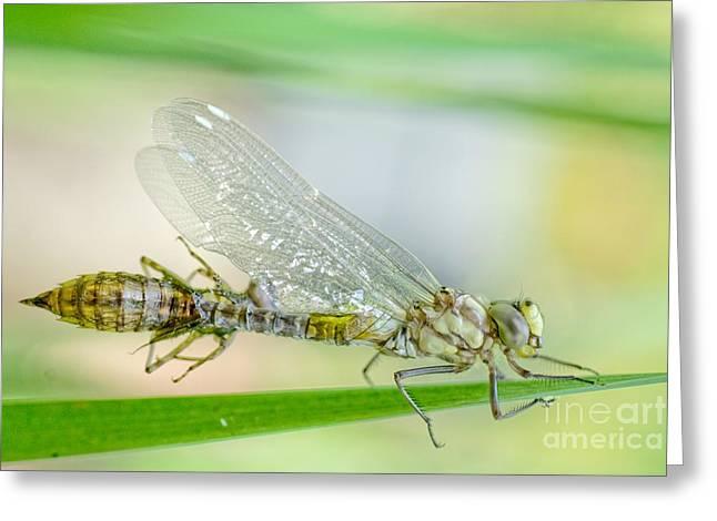 Dragonfly Eyes Greeting Cards - Newborn Blue Hawker dragonfly Greeting Card by Martin Capek