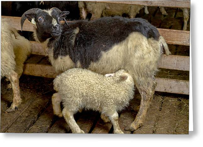 Occupation Greeting Cards - Newborn Lamb Feeding From Ewe, Eastern Greeting Card by Panoramic Images