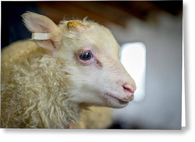 Occupation Greeting Cards - Newborn Lamb Tagged, Eastern, Iceland Greeting Card by Panoramic Images