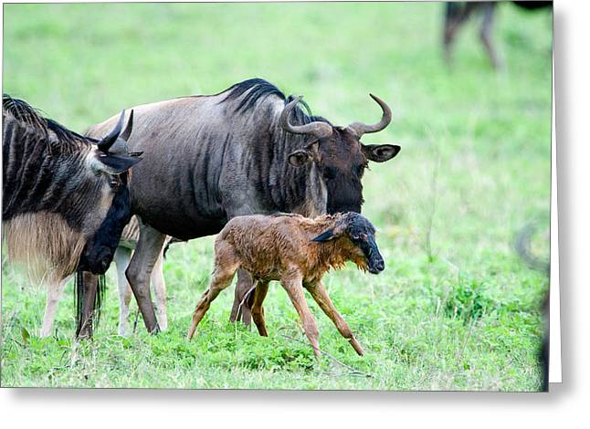 Female Animal Greeting Cards - Newborn Wildebeest Calf Greeting Card by Panoramic Images