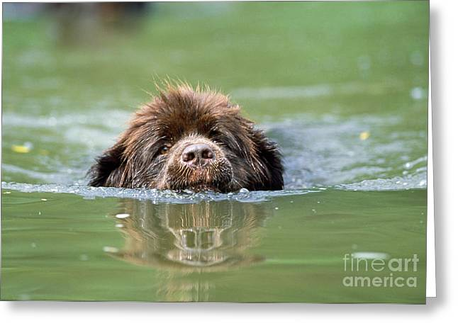 Dog Swimming Greeting Cards - Newfoundland Dog, Swimming In River Greeting Card by John Daniels