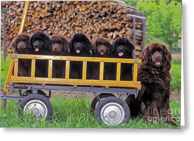 Newfoundland Puppy Greeting Cards - Newfoundland With Puppies Greeting Card by Rolf Kopfle