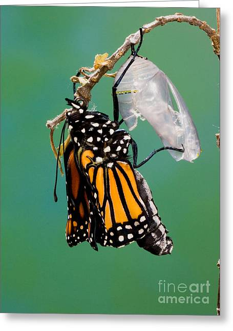 Newly Greeting Cards - Newly-emerged Monarch Butterfly Greeting Card by Anthony Mercieca