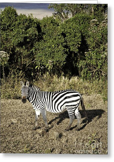 Bedroom Art Greeting Cards - Ngorongoro Zebra Greeting Card by Timothy Hacker