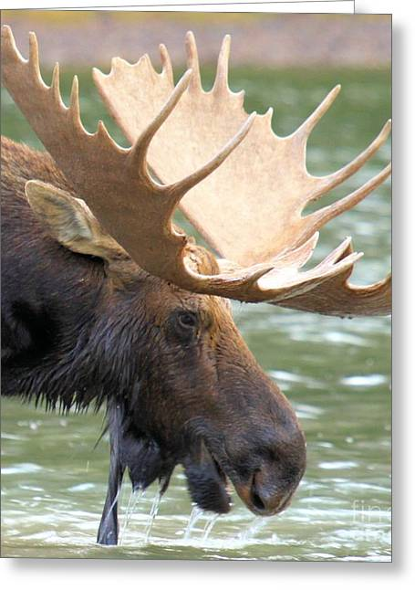 Moose In Water Greeting Cards - Nice Rack Baby Greeting Card by Adam Jewell
