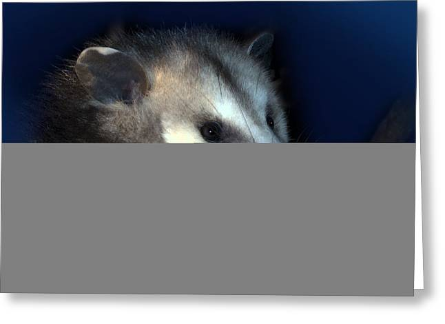Possum Greeting Cards - Night Creature Greeting Card by Betty LaRue