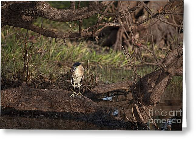 Tree Roots Photographs Greeting Cards - Night Heron at Corroboree Billabong Greeting Card by Douglas Barnard