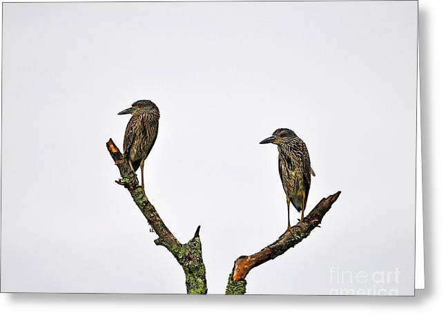 Crowned Heron Greeting Cards - Night Heron Juveniles Greeting Card by Al Powell Photography USA