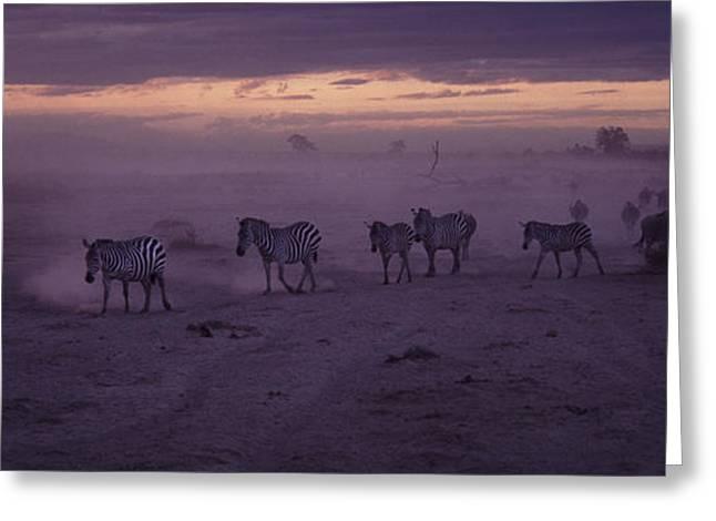 Safari Greeting Cards - Night migration Greeting Card by Liz Leyden
