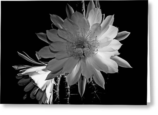 Family Of Doctors Greeting Cards - Nightblooming Cereus Cactus Flower Greeting Card by Susan Duda