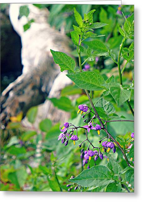 Bittersweet Greeting Cards - Nightshade Greeting Card by Soul Full Sanctuary Photography By Tania Richley