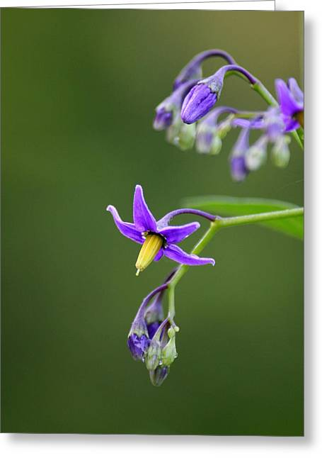 Flower Photograph Greeting Cards - Nightshade View    Greeting Card by Neal  Eslinger