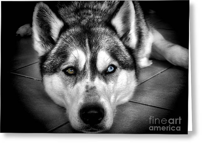 Husky Greeting Cards - Niko Greeting Card by Karen Lewis