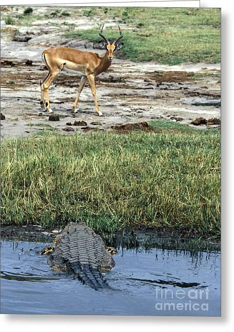 Nils Greeting Cards - Nile Crocodile & Impala Greeting Card by Mark Newman