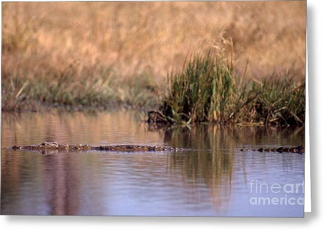 Nile Crocodile Greeting Card by Gregory G. Dimijian, M.D.