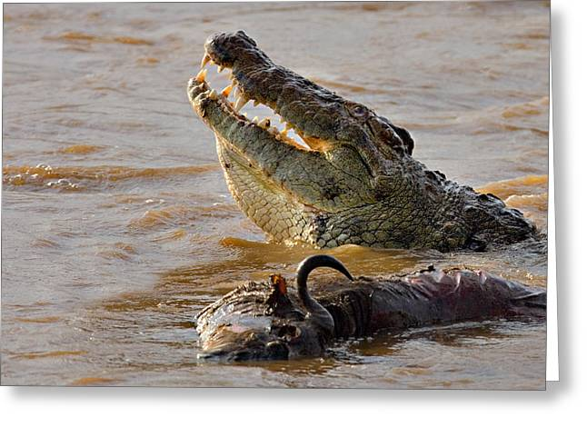 Ripples In The Water Greeting Cards - Nile Crocodile With A Dead Wildebeest Greeting Card by Panoramic Images