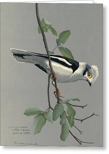 Nile Greeting Cards - Nile Helmet Shrike Greeting Card by Louis Agassiz Fuertes