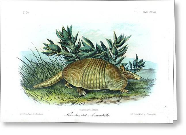 Wild Life Drawings Greeting Cards - Nine-banded Armadillo Greeting Card by Celestial Images