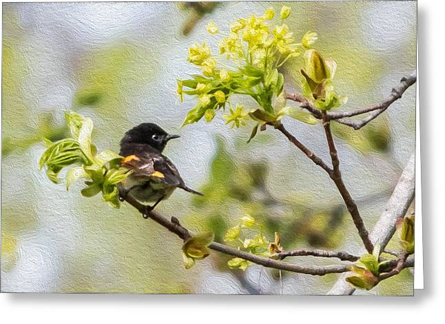 American Redstart Greeting Cards - American Redstart 1 of 3 Greeting Card by Patti Deters