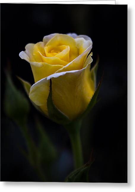 Lemon Art Greeting Cards - Single Yellow Rose Greeting Card by Patti Deters