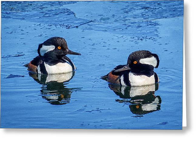 Pairs Greeting Cards - Male Hooded Merganser Pair Greeting Card by Patti Deters