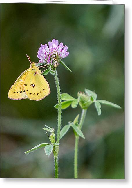 Lemon Art Greeting Cards - Butterfly - Orange Sulphur on Clover Greeting Card by Patti Deters