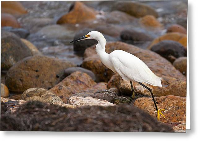 Snowy Egret Greeting Cards - No Re-Egrets Greeting Card by Peter Tellone
