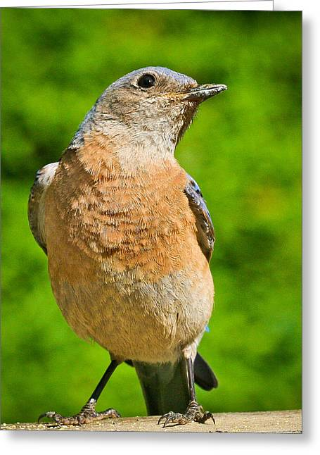Turdidae Greeting Cards - No way Greeting Card by Jean Noren
