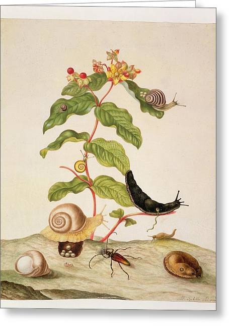 Biology Drawings Greeting Cards - Hypericum Baxiforum Greeting Card by Maria Sibylla Graff Merian