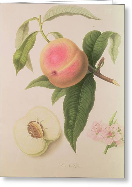 Green Leafs Drawings Greeting Cards - Noblesse Peach Greeting Card by William Hooker