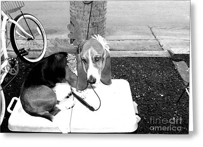 Basset Hound Framed Prints Greeting Cards - Nobody likes me Greeting Card by Craig Pearson