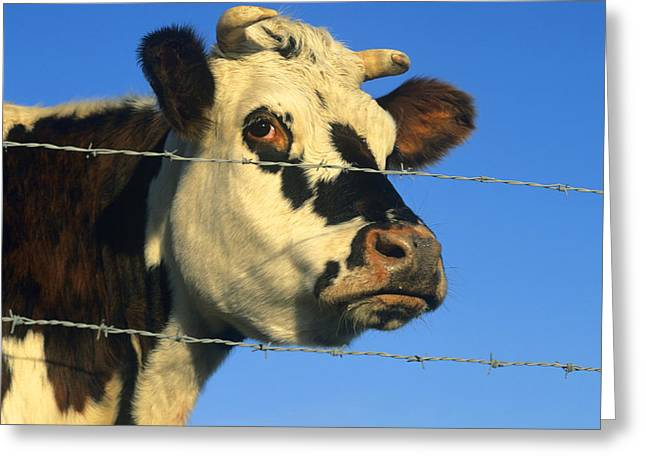 Enclosed Greeting Cards - Normand cow Greeting Card by Bernard Jaubert