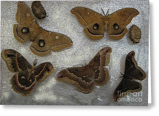 Cocoon Digital Art Greeting Cards - North American Large Moth Collection Greeting Card by Conni Schaftenaar Elderberry Blossom Art