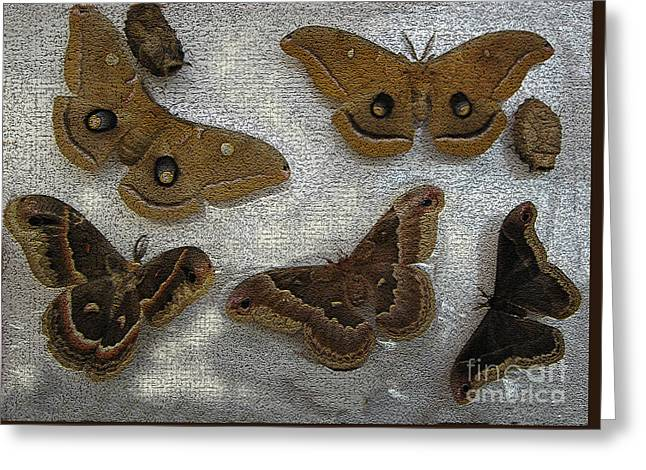 North American Large Moth Collection Greeting Card by Conni Schaftenaar