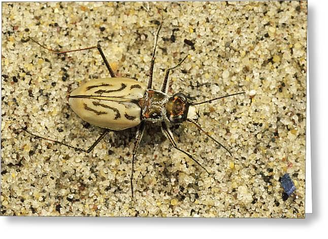 Beach Photos Greeting Cards - Northern Beach Tiger Beetle Marthas Greeting Card by Mark Moffett